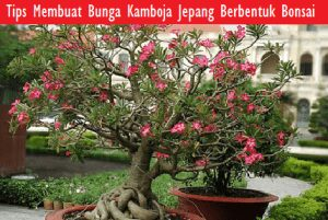 Tips Membuat Bunga Kamboja Jepang Berbentuk Bonsai